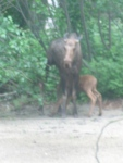 nursing moose calf
