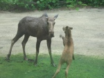 Mom and calf playing in the yard