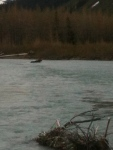 Moose crossing Portage Creek