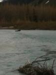 Moose crossing Portage Creek